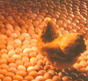 Deze kip loopt in ieder geval zonder problemen op eieren...